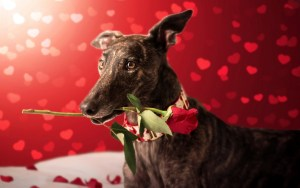 valentines-day-dog-with-red-rose-hearts-bokeh-1920x1200-wide-wallpapers.net