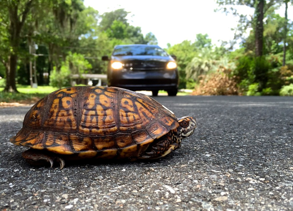 A box turtle crossing the road