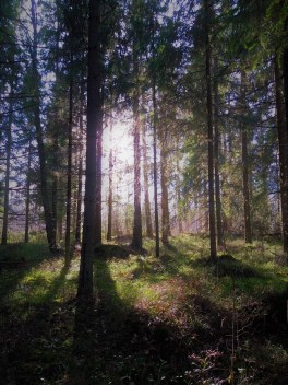 Our forest near Vindeln, Northern Sweden.