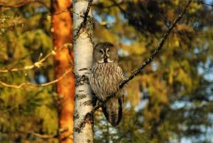 DSC_0629 Kristin King great grey owl northern sweden birdwatching holidays