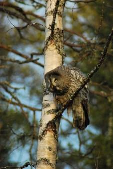 DSC_0651 Kristin King great grey owl northern sweden birdwatching holidays