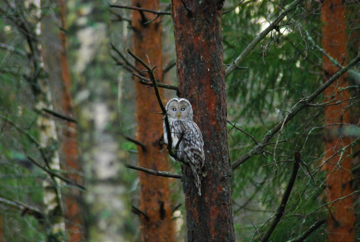 DSC_0682 Kristin King Ural owl Strix uralensis birdwatching northern sweden holidays
