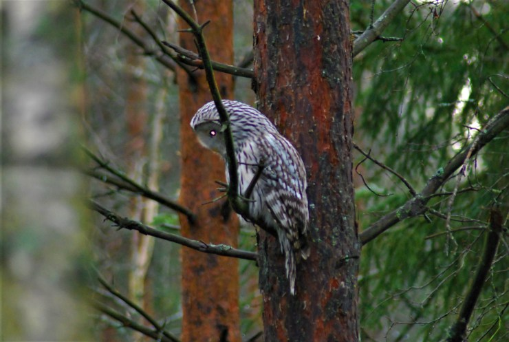 DSC_0688 Kristin King Ural owl birdwatching northern sweden holidays