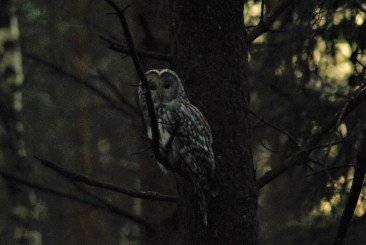 DSC_0692 Kristin King Ural owl birdwatching northern sweden holidays
