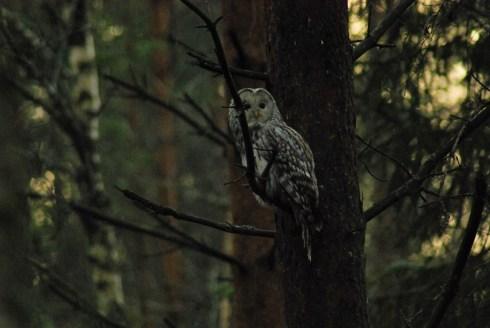 DSC_0694 Kristin King Ural owl birdwatching northern sweden holidays