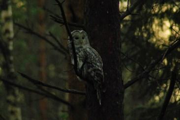 DSC_0695 Kristin King Ural owl birdwatching northern sweden holidays