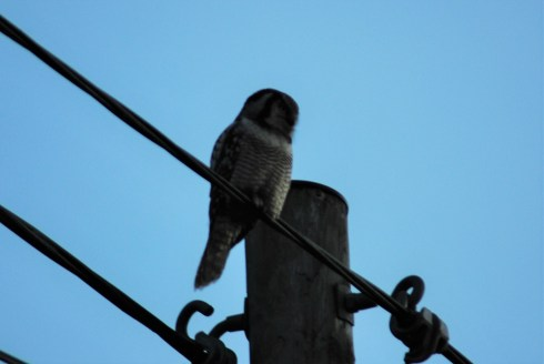 Hawk owl birdwatching northern sweden holidays
