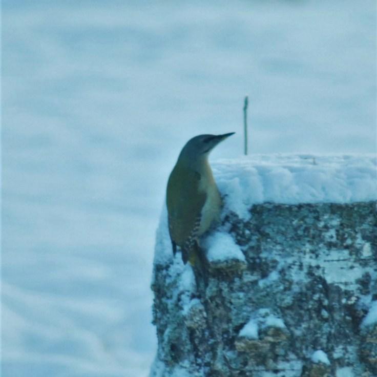 grey headed woodpecker birdwatching northern sweden holidays