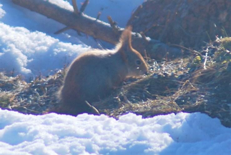 Red Squirrel (Sciurus vulgaris) by swedenfishingandbirding