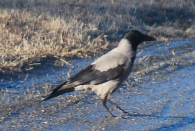 Hooded Crow (Corvus cornix) by swedenfishingandbirding.net