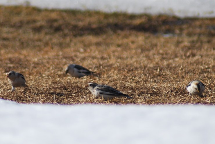 Snow Bunting (Plectrophenax nivalis) in our garden by swedenfishingandbirding