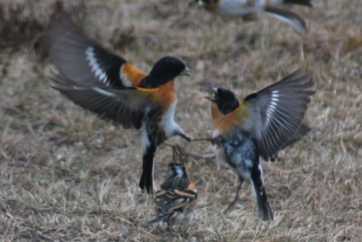 Battling Brambling (Fringilla montifringilla) by swedenfishingandbirding.