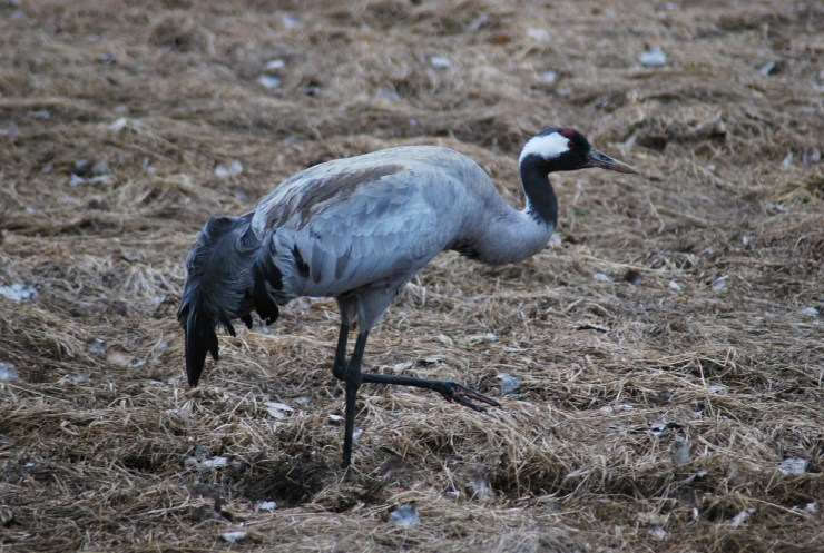 Eurasian crane (Grus grus) feed, display, breed, call and roost directly outside where you stay with us. Photo taken in our back garden by swedenfishingandbirding@gmail.com.