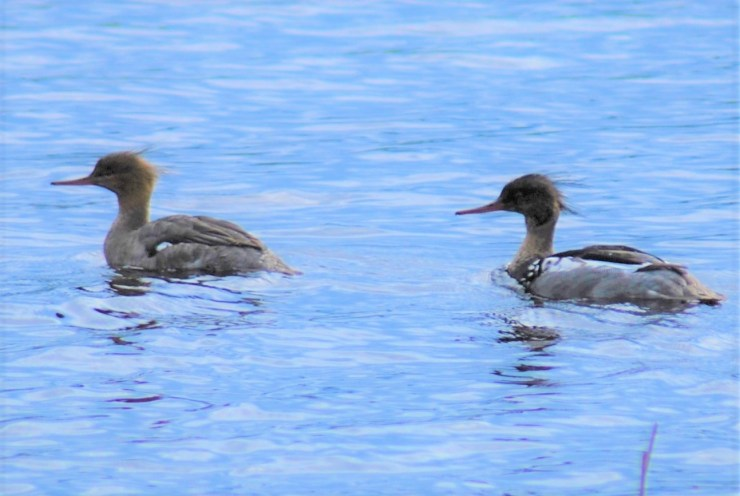 Breeding pair of Red-breasted merganser (Mergus serrator) on our lake. Photo by sweden fishing and birding. Bird watching Northern Sweden.