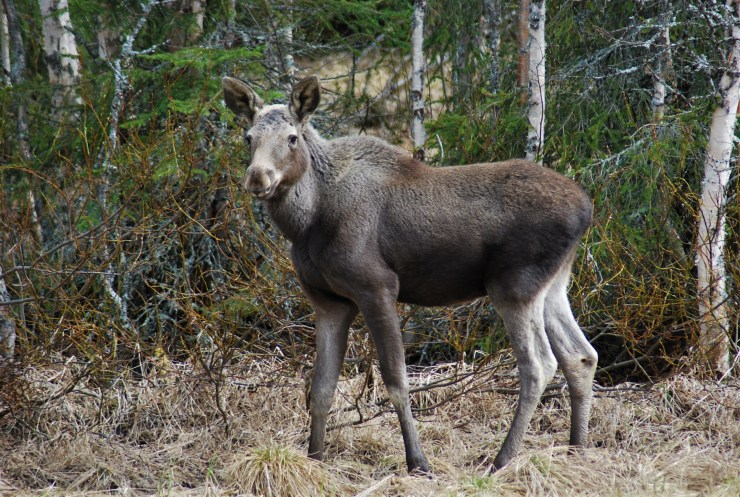Moose calf (Alces alces). Photo taken by sweden fishing and birding in our forest.