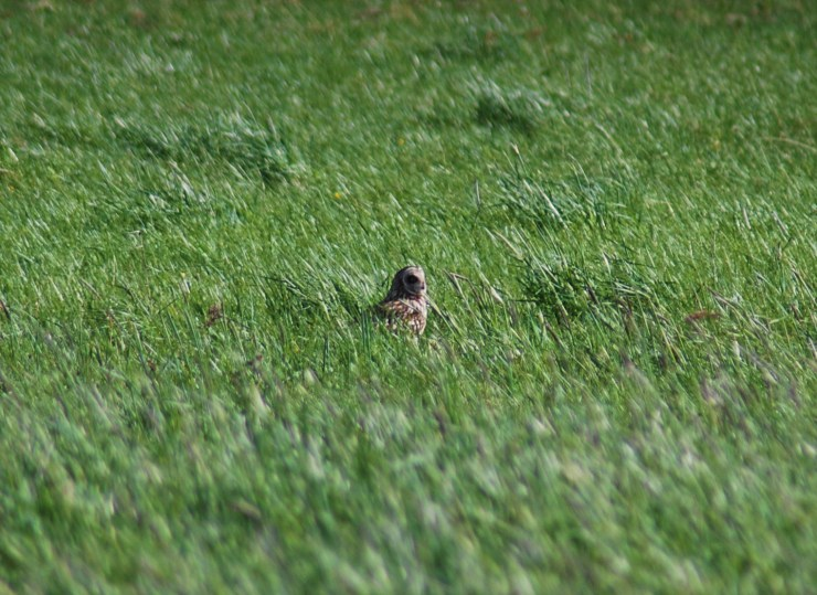 Short-eared owl (Asio flammeus). Photo taken by sweden fishing and birding. Bird watching Vasterbotten, Northern Sweden.