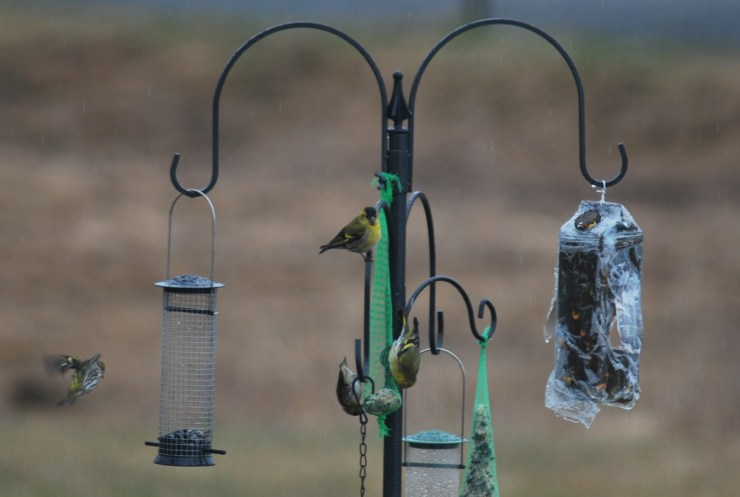 Eurasian siskin (Spinus spinus) on our bird feeder by swedenfishingandbirding@gmail.com