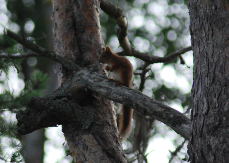 We live in the trees next to where you stay. Have you ever had breakfast with a Red squirrel?