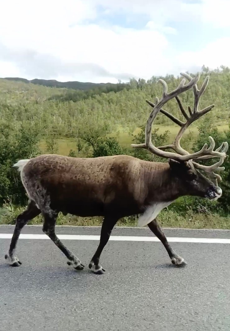Huge male Reindeer by sweden fishing and birding.