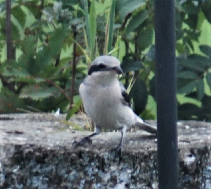 Great grey shrike (Lanius excubitor) photographed by sweden fishing and birding visiting our bird feeding station.