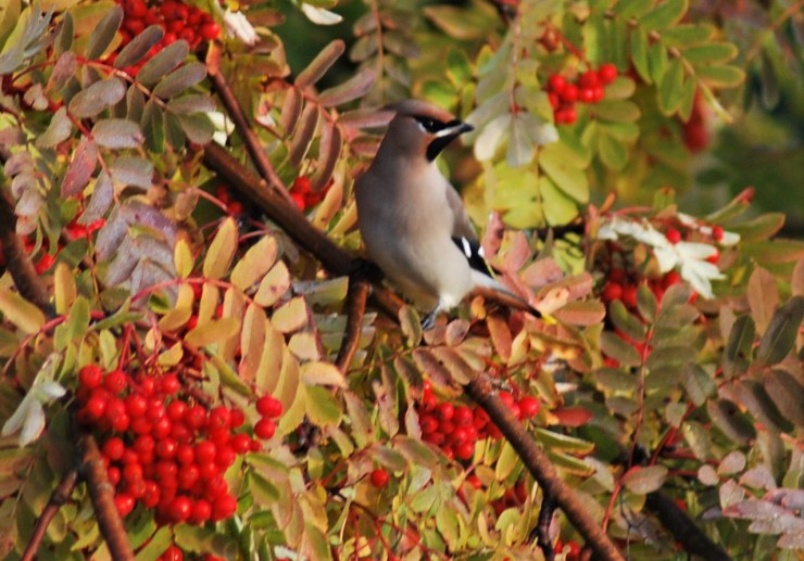 Bohemian waxwing (Bombycilla garrulus) taken by sweden fishing and birding - Northern Sweden guided birding trip. Late September is best!