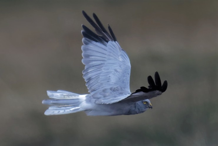 Stylish Swedish grey. Hen Harrier (Circus cyaneus).