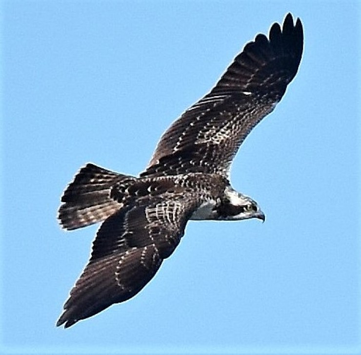 Osprey (Pandion haliaetus) - can be seen from our boat or garden.