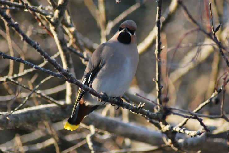 Waxwing - swedish guided bird watching trip.