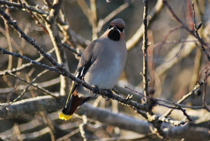 Waxwing - swedish guided bird watching trip.