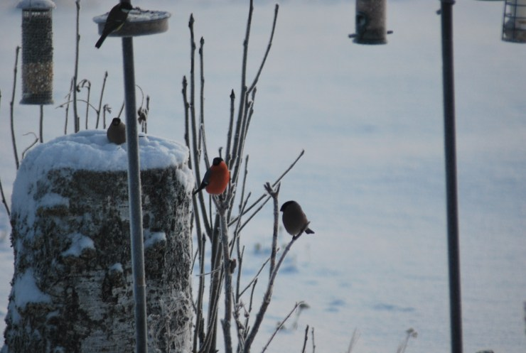 Bullfinch means snow is coming here at sweden fishing and birding