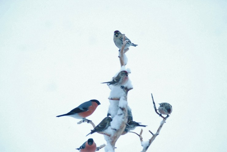 The presence of Bullfinch is taken as a sign of pending snow in Sweden.