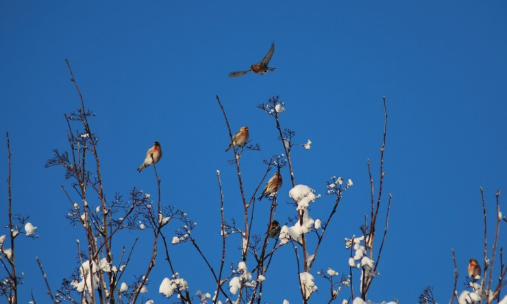 Blue sky, snow and splendid birds. It can only be Sweden!