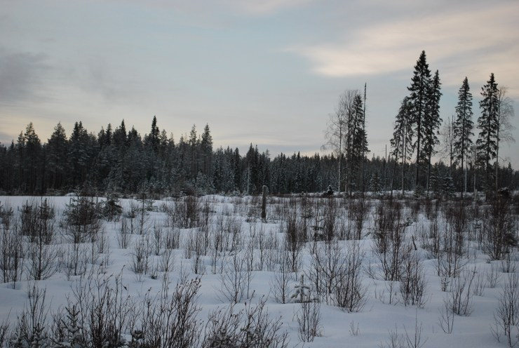 Mixed height vegetation offers the chance to spot Moose, Capercaillie or a hunting Owl.