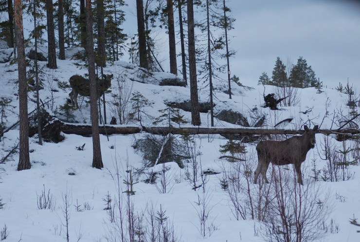 Moose net to the ski slope - Vasterbotten, Northern Sweden.
