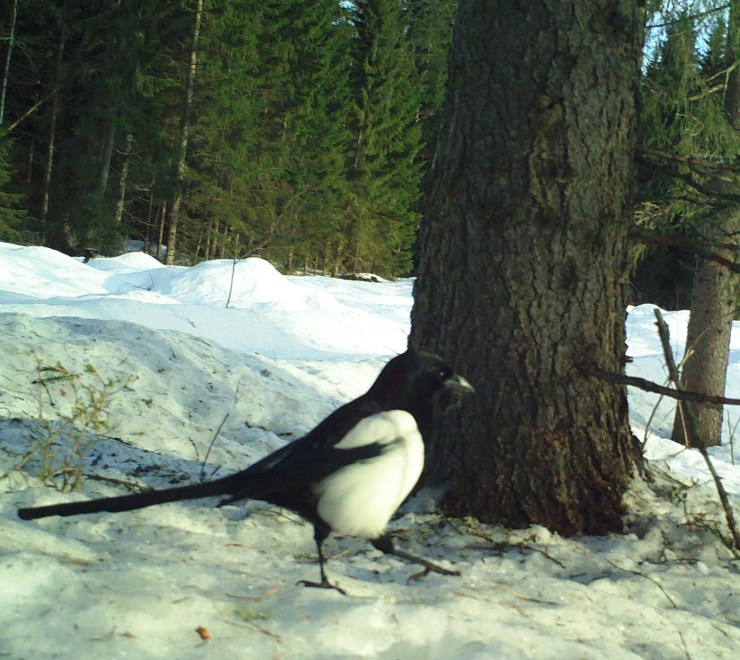 Eurasian magpie or common magpie (Pica pica) take advantage of insects exposed by woodpecker activity.