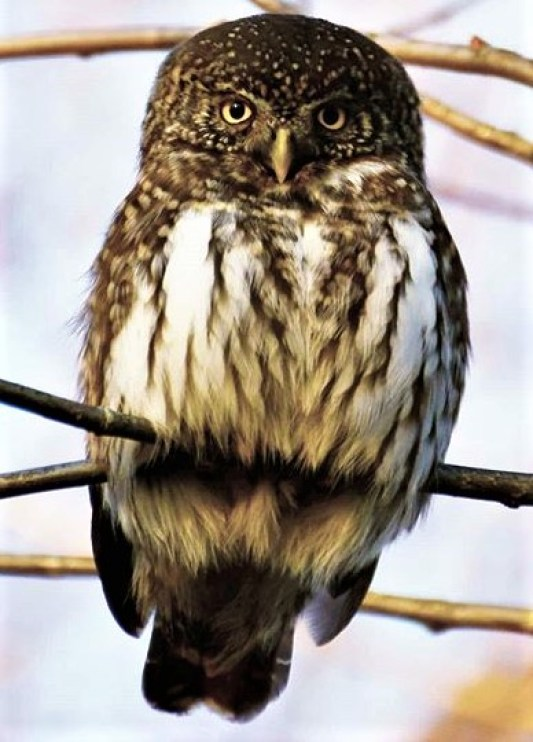 Eurasian pygmy owl (Glaucidium passerinum) can be seen all year in our forest.
