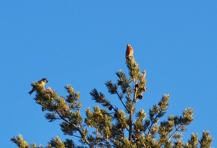 Pair of Pine grosbeak (Pinicola enucleator) - photo taken by Sweden fishing and birding March 2020.