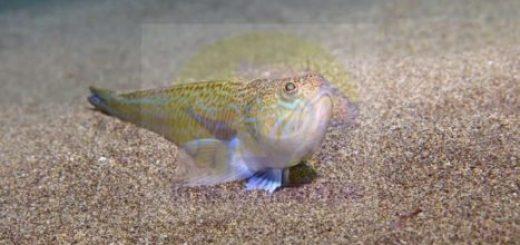 الطَّرخِين.. سمكة سامة في السويد