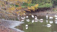 A flock of pink spoonbills browsing a retainment pond in Stuart.