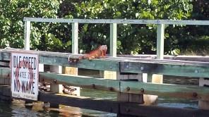 We started seeing large iguanas sunning themselves on bridgework.