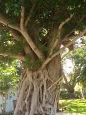 Banyan tree on Vero Beach City Marina grounds.