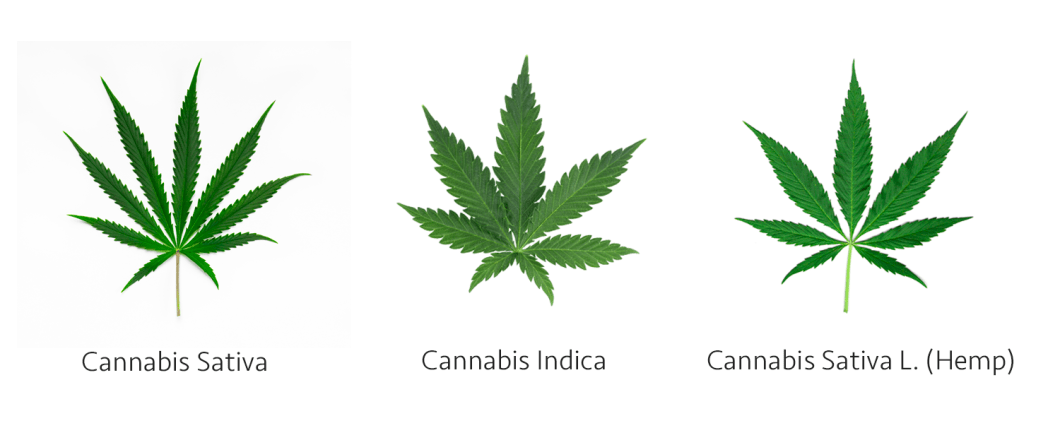 Cannabis Types