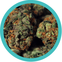 Sativa-dominated strain