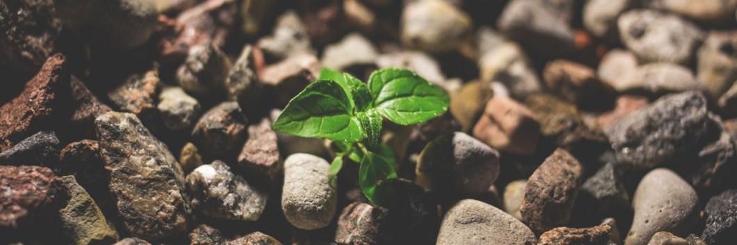 Cannabinoids help cannabis to survive