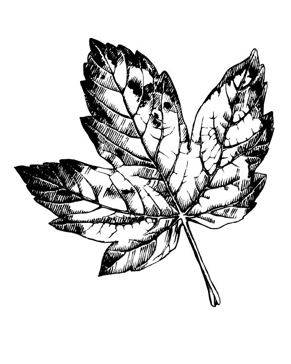 click here to download the free printable maple leaf coloring page