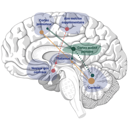 Les zones du cerveau stimulées par WALK