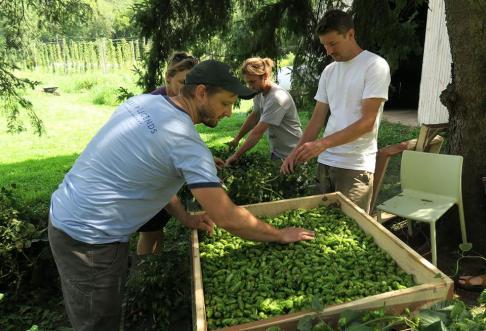 Hop harvest 2016