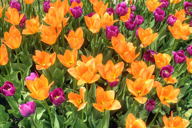 Albany Tulip Festival - Sweet and Savoring [photo by Andy Milford]