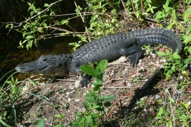 Alligator Spotting and Canoeing in the Everglades - Sweet and Savoring [photo by Andy Milford]