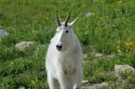 A Goat Closeup